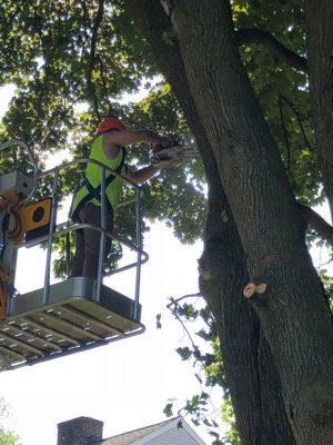 Man on a lift cutting branch off of a tree